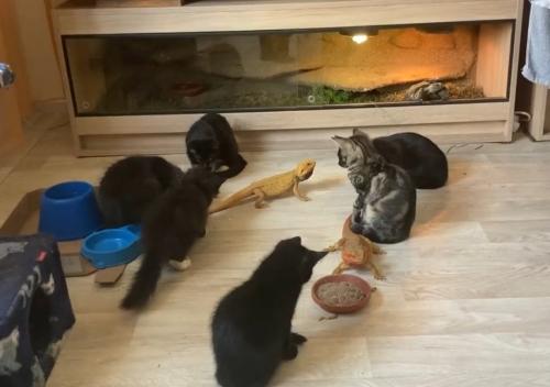 Katzen und Agama